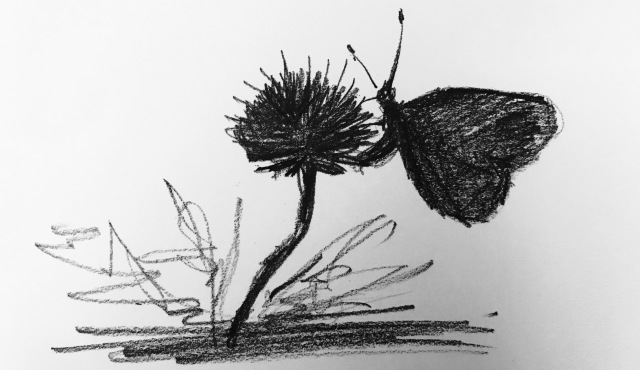Pencil sketch of a butterfly feeding on field scabious.